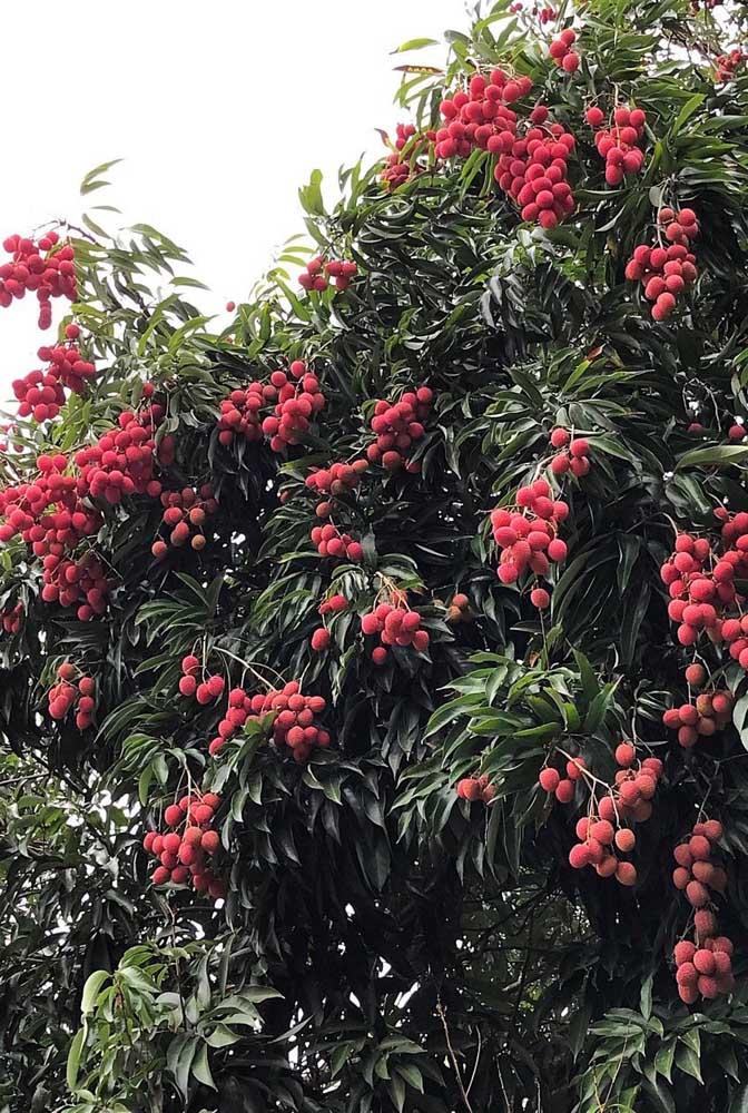 Para aproveitar melhor as propriedades da Lichia, recomenda-se o consumo in natura da fruta