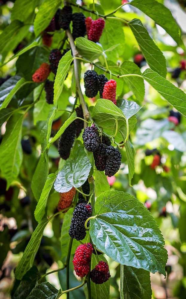Os frutos da amoreira possuem diversas propriedades terapêuticas e medicinais