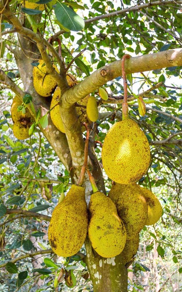 Um único fruto da jaqueira pode pesar até 40 kilos