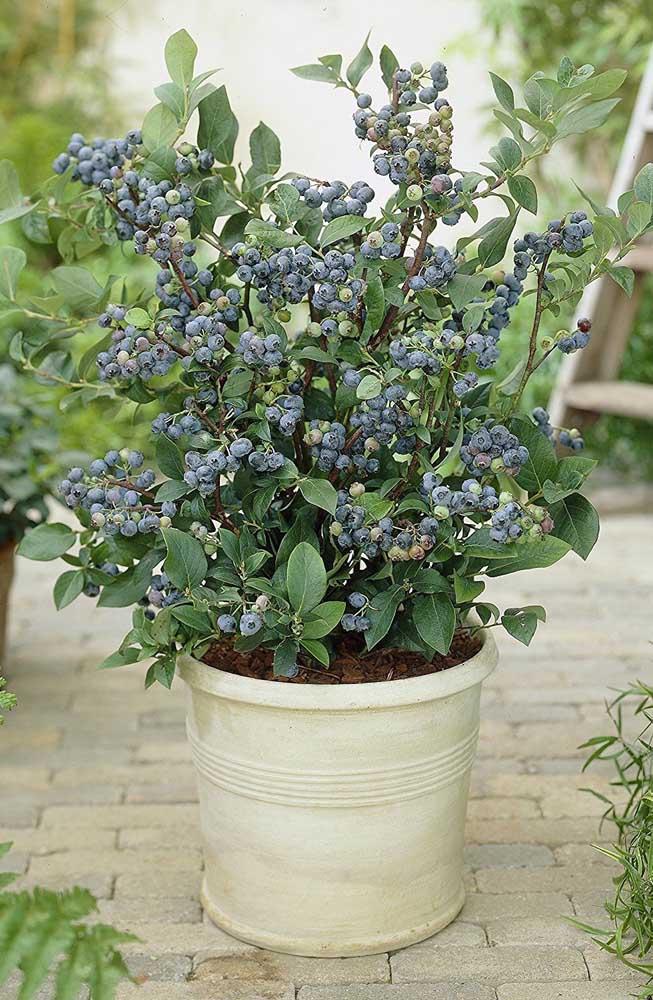 Blueberry em vaso. Existem espécies que se adaptam muito bem ao clima brasileiro