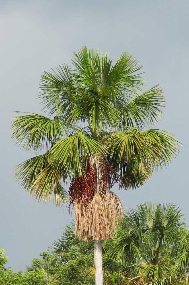 O Buriti é uma árvore típica do cerrado brasileiro, mas que pode ser plantada em outras regiões também