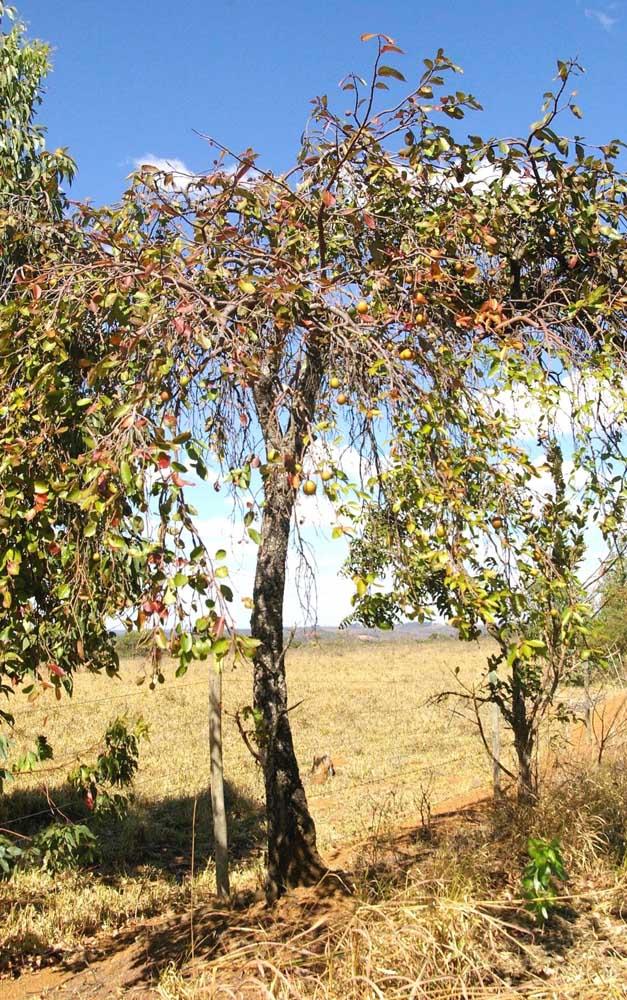 A mangabeira produz frutos entre outubro e abril
