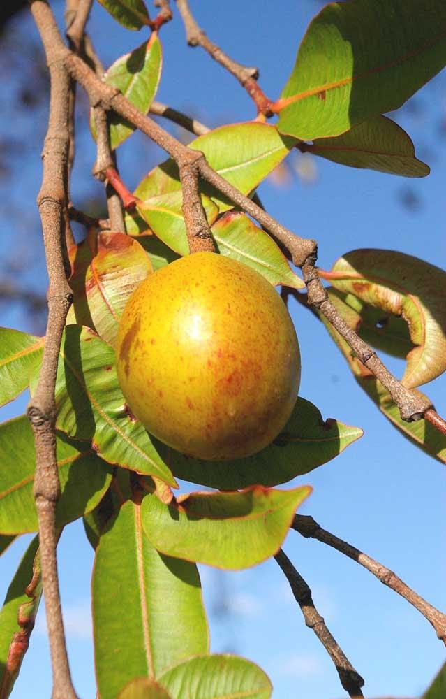 Os frutos da mangabeira devem ser consumidos maduros, se estiverem verdes podem causar irritação e alergias