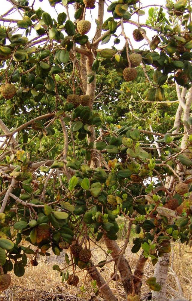 Os frutos da araticum são da mesma família da fruta do conde e da graviola