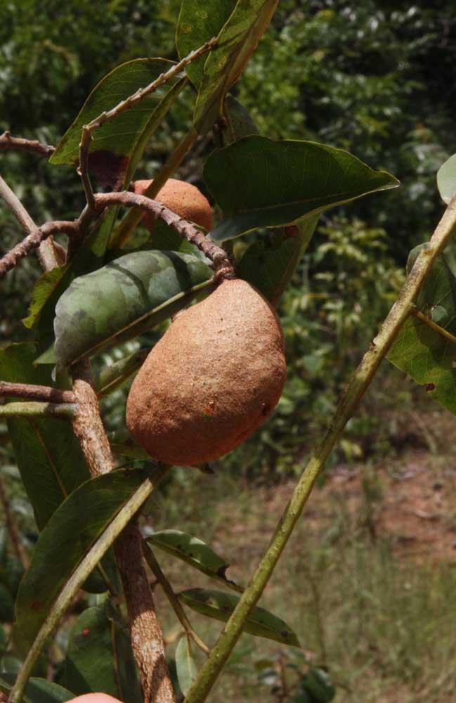 O fruto da Baru possui uma casca dura e difícil de ser rompida