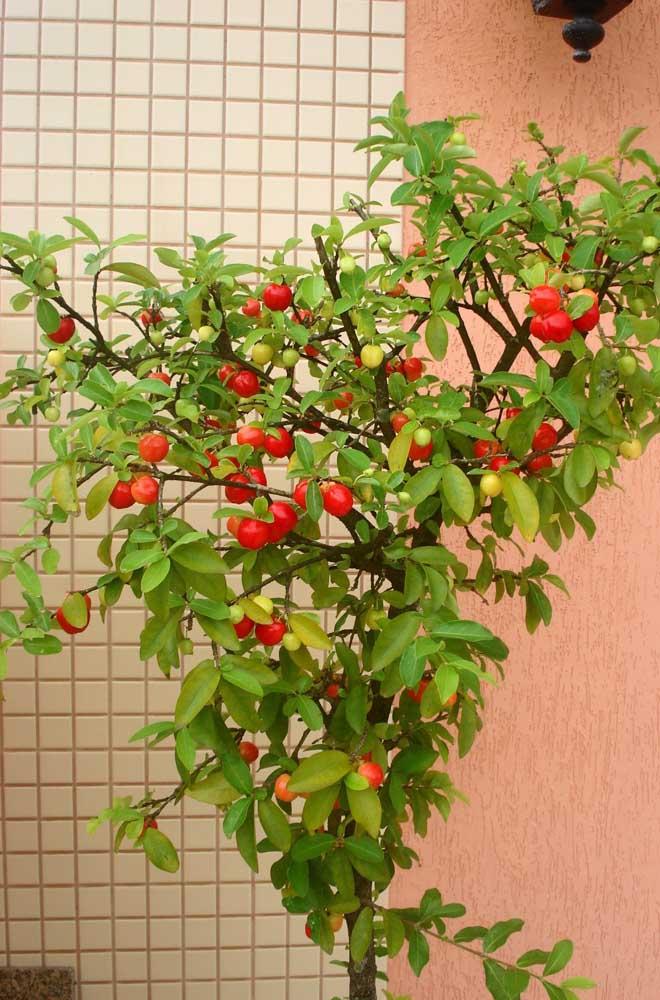 Aceroleira em vaso: fortaleça seu sistema imunológico com apenas 100gr da fruta