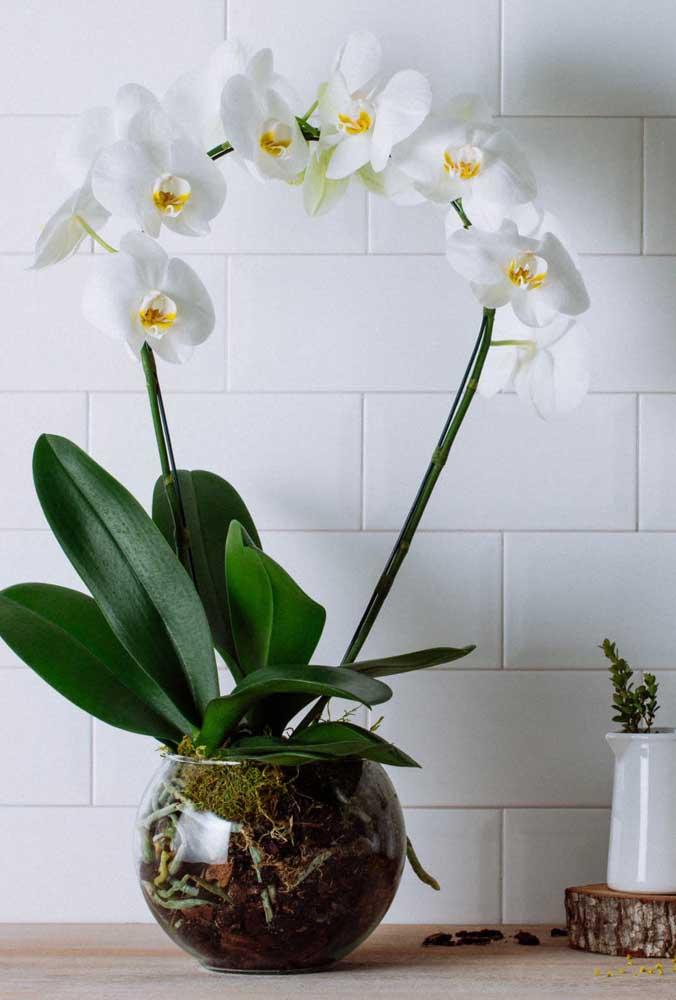 Orquídea Denphal branca para decorar os ambientes internos, mas lembre-se sempre de oferecer iluminação adequada