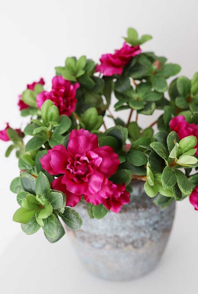 Flor de inverno no vaso: aqui é a mini azaléa cor de rosa que se destaca