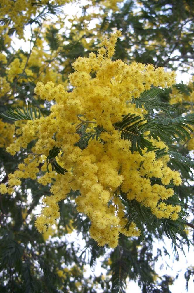 """""""Buquê"""" natural de acácias amarelas embelezando a própria árvore"""