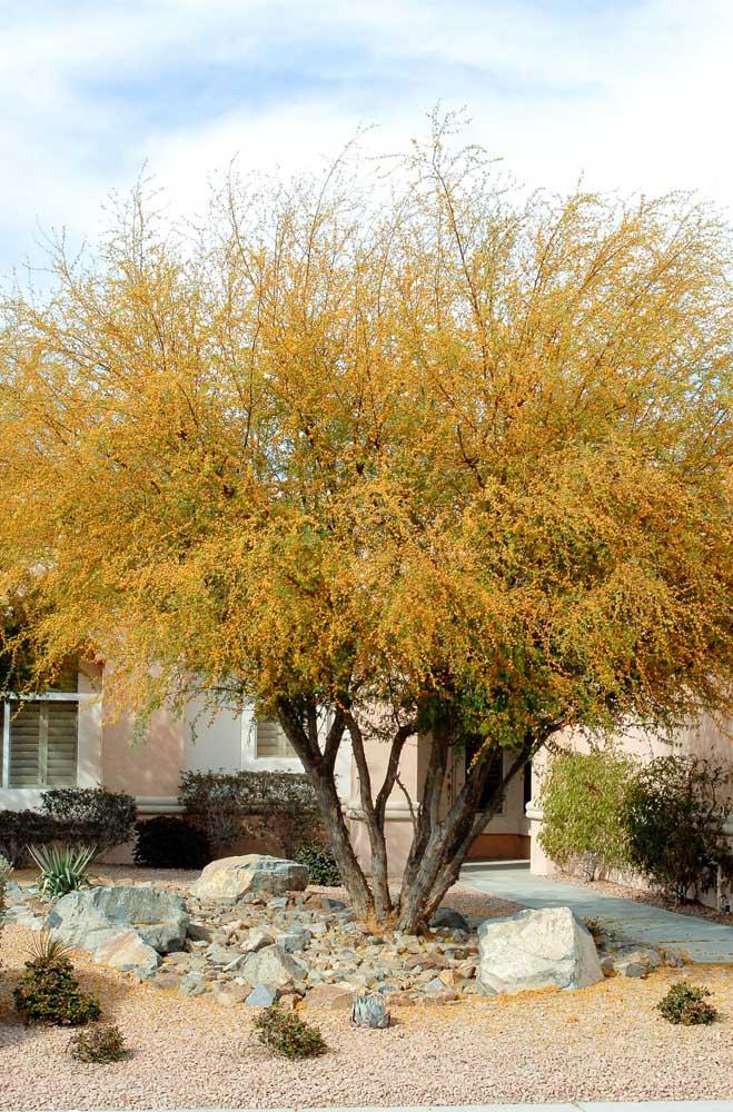 Uma esplendorosa árvore de acácias amarelas enchendo de vida a fachada da casa
