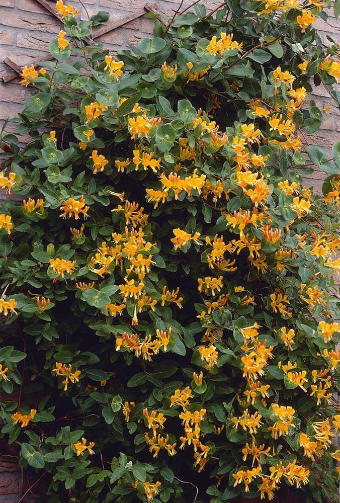 Os hibiscos amarelos também podem ser usados para formar vasos de flores pendentes