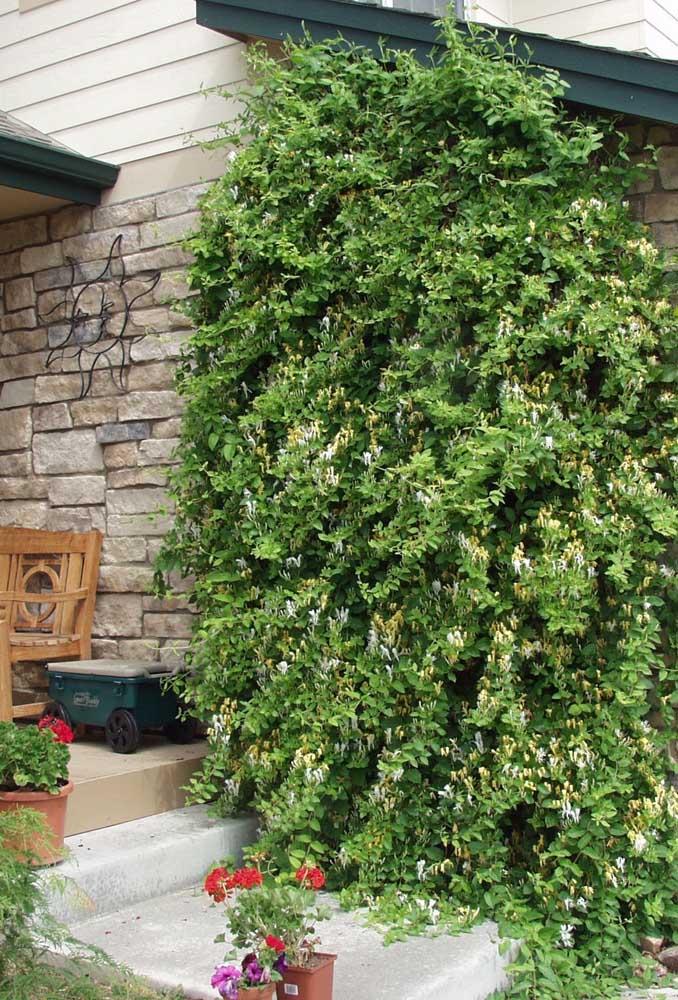 Madressilva para o jardim vertical rústico