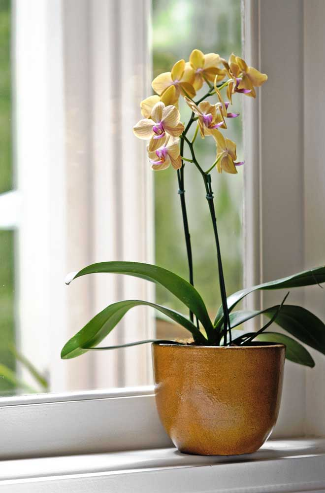 Já aqui, debruçada sobre a janela, está a orquídea amarela do tipo Phalaenopsis
