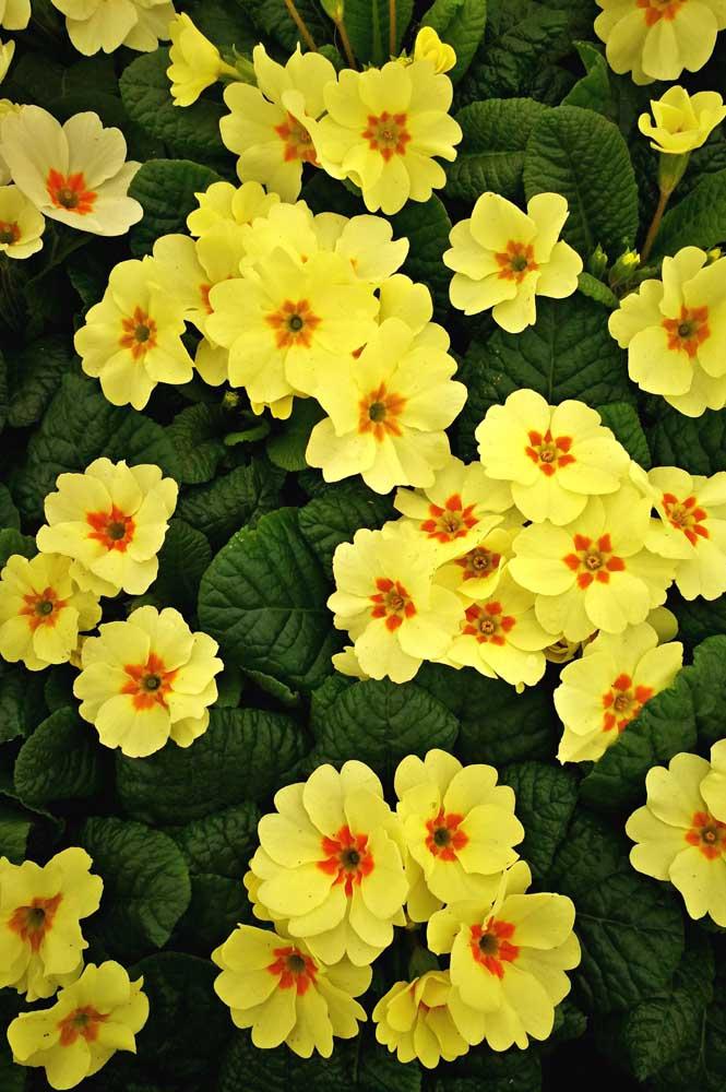 Toda a graça das prímulas amarelas alegrando um canteiro na frente de casa