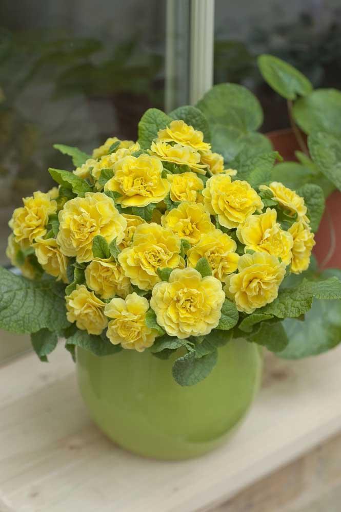 Prímulas amarelas no vaso trazendo cor e vida para dentro de casa