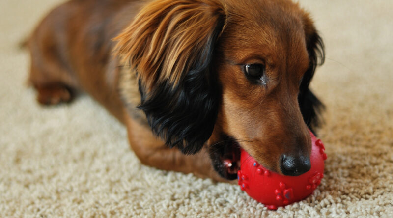 Cachorro para apartamento: veja as 7 opções de raças mais indicadas