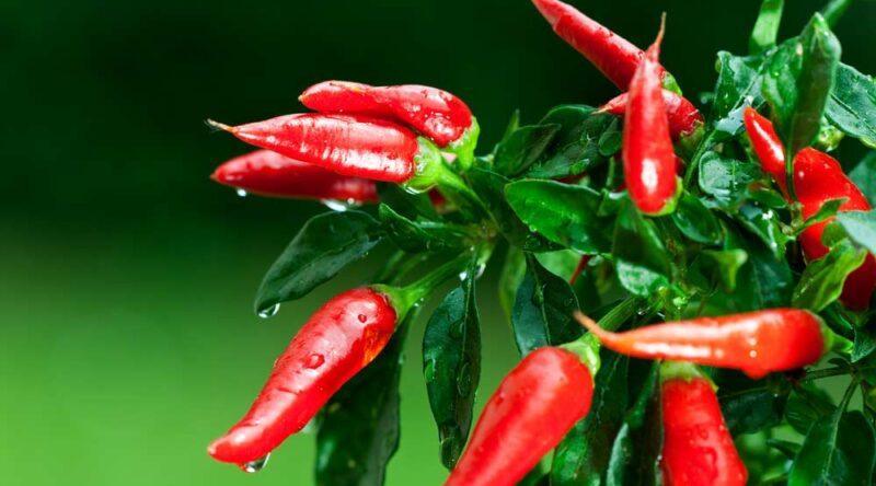 Como plantar pimenta: veja o solo ideal, dicas e passo a passo