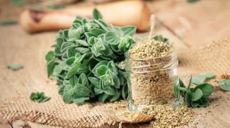 Como plantar orégano: veja como cuidar, benefícios e dicas essenciais