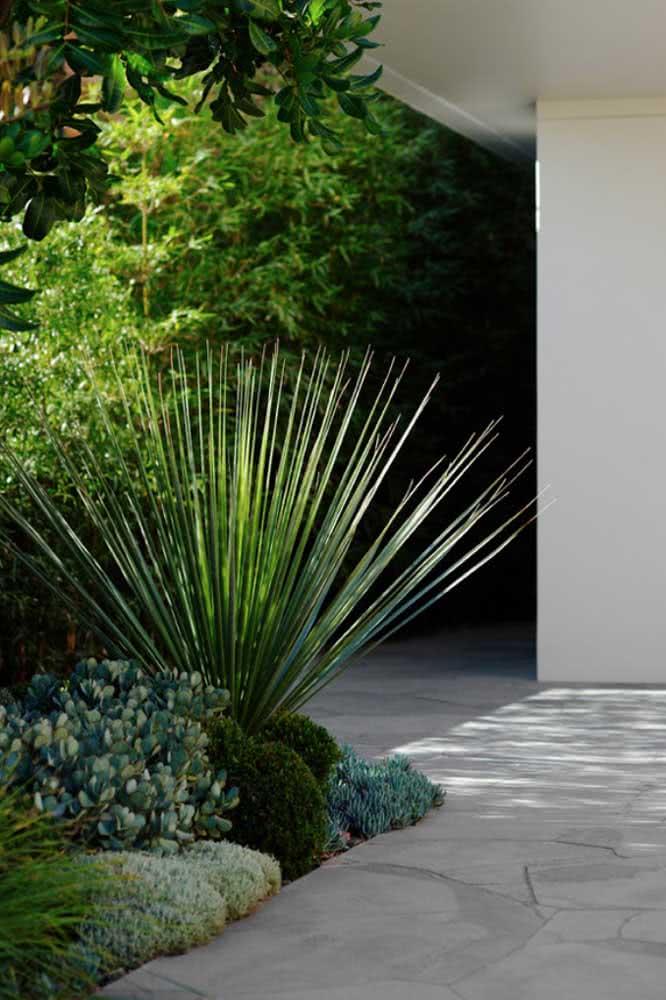A Dasilírio, por sua vez, é exótica, moderna e confere um toque diferenciado ao jardim. Mas garanta espaço para que as folhas pontiagudas não machuquem ninguém
