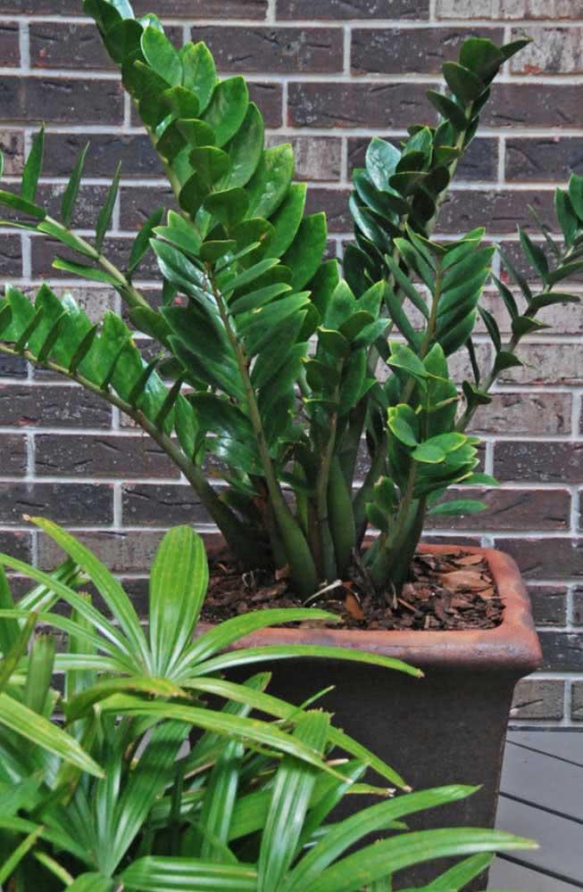 Já a Zamioculca é a planta ideal para jardins sombreados e de pouca luz. Só não repare no crescimento lento da espécie