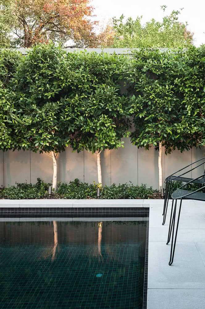 Tem piscina no meio do jardim? Faça um muro verde coberto por Ficus