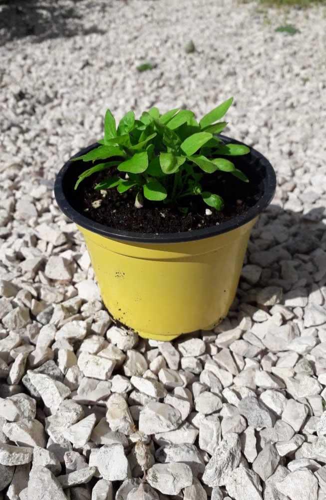 Aromático e super bem vindo na culinária, o manjericão também possui propriedades terapêuticas interessantes, podendo ser usado em chás