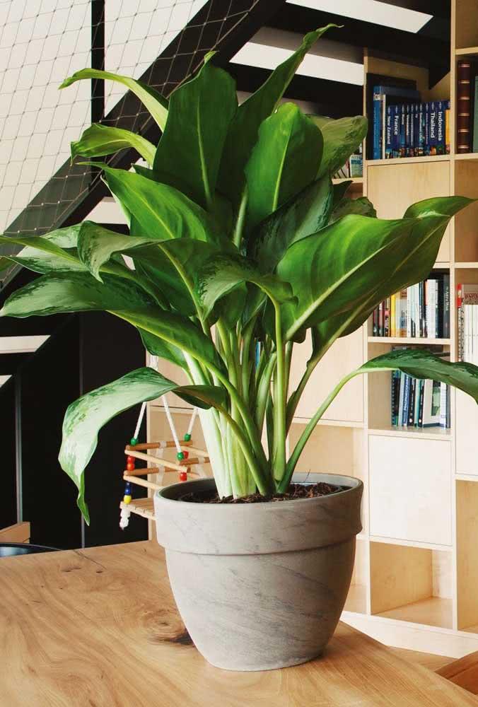 A Aglaonema é um ótimo exemplo de planta que vai super bem dentro de casa e ainda surpreende com suas folhas verdes grandes e lustrosas