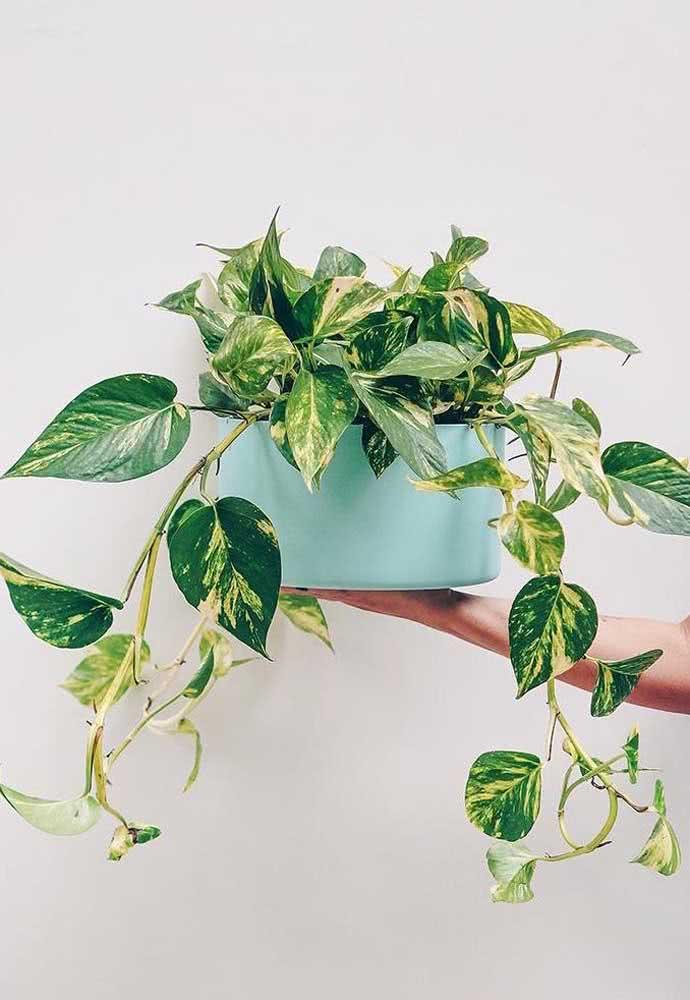 Já quem prefere uma planta ornamental bem brasileirinha, nossa dica é a jiboia. Muito fácil de cuidar!