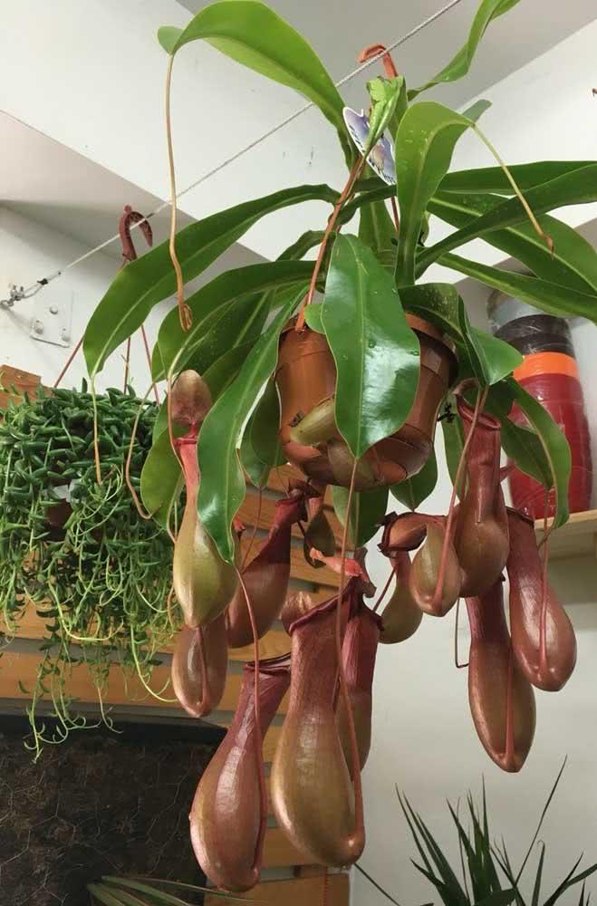 """E o que acha de cultivar uma Nepenthes em casa? A espécie possui """"jarros"""" que capturam e prendem as presas"""