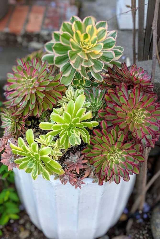 Um vaso de suculentas do tipo Aeonium Leucoblepharum: coloridas e exóticas