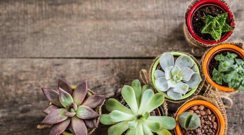 Como plantar suculentas: confira dicas essenciais para plantar a sua suculenta