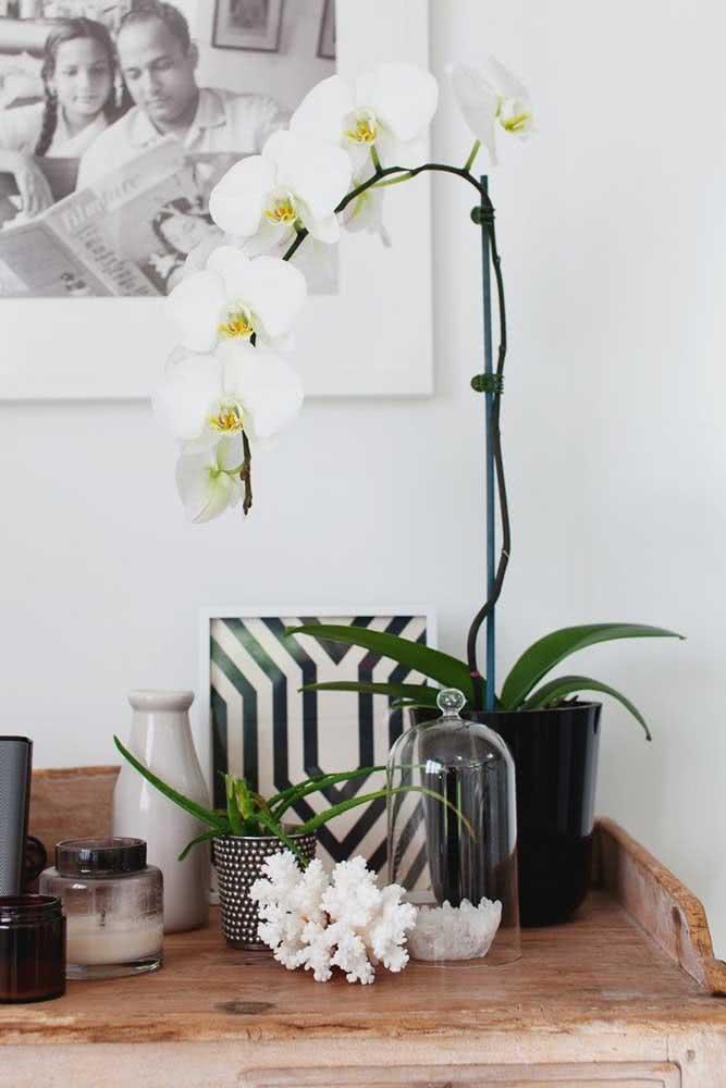 Orquídea Phalaenopsis branca para aquele cantinho especial da casa