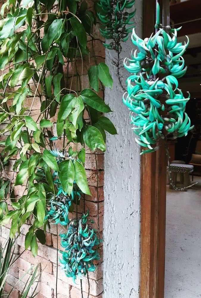 Trepadeira Jade azul: cor e formato exótico para embelezar sua área externa