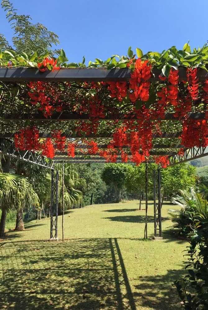 A cor viva e marcante da trepadeira jade vermelha é um espetáculo no jardim amplo e gramado