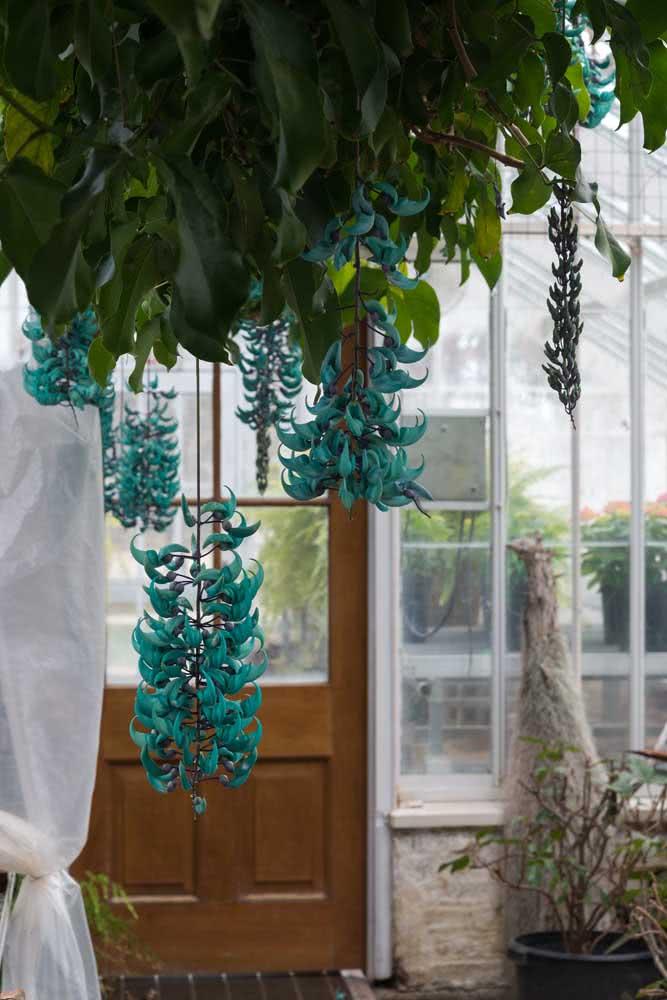 A trepadeira jade azul pode ser a melhor recepcionista que sua casa já teve