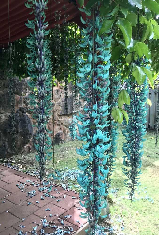 Os cachos de flores da trepadeira jade podem facilmente tocar o chão