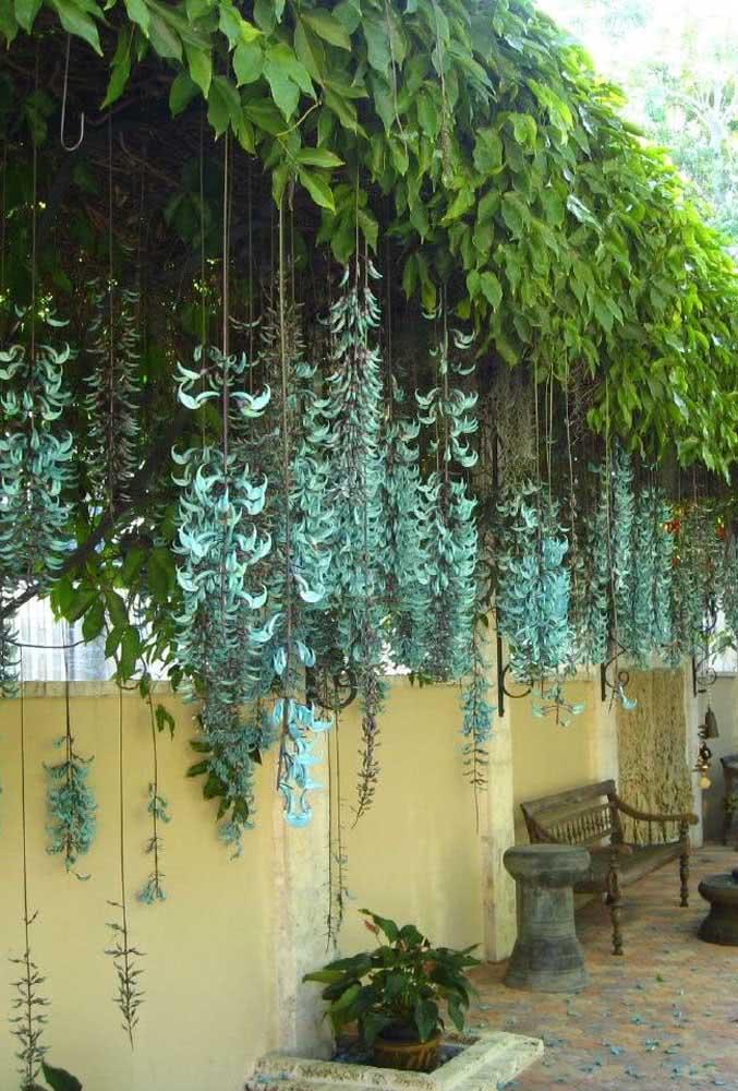 Aqui, o lugar escolhido para plantar a trepadeira jade foi rente ao muro da casa