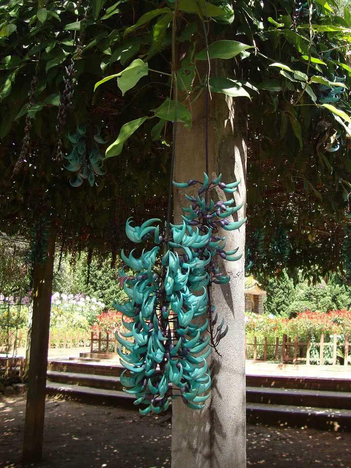 Um cacho de flores azuis com brilho perolado: essa é a trepadeira jade