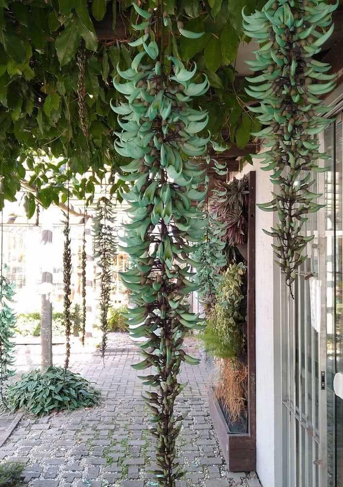 Experimente cultivar a trepadeira jade na entrada da casa e deixe a planta te surpreender