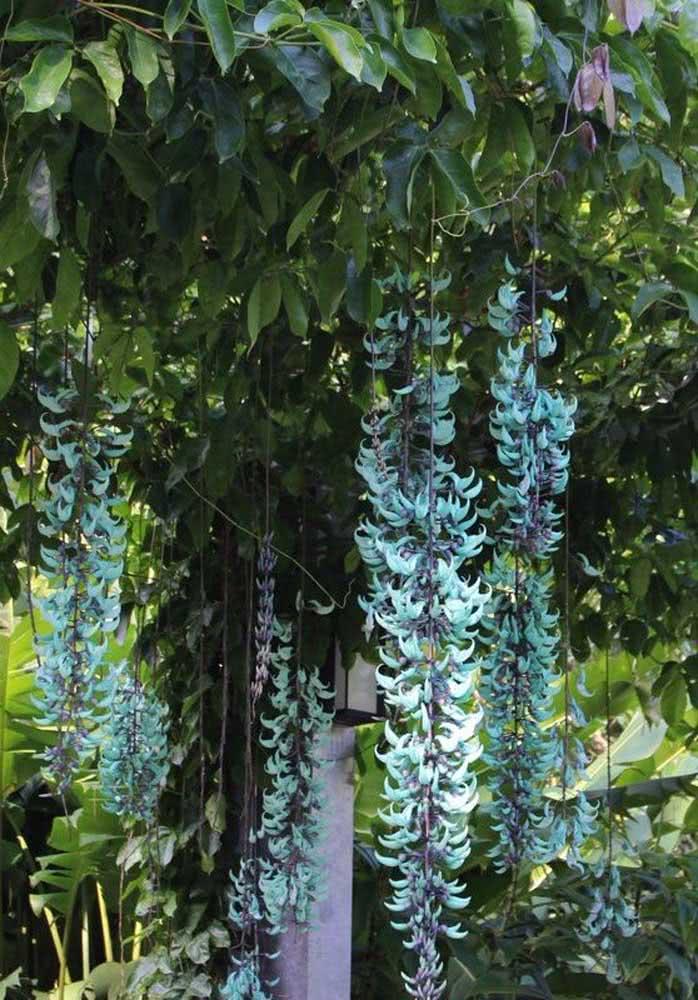 Além da beleza das flores, a trepadeira jade ainda vai encher sua casa de borboletas e beija-flores