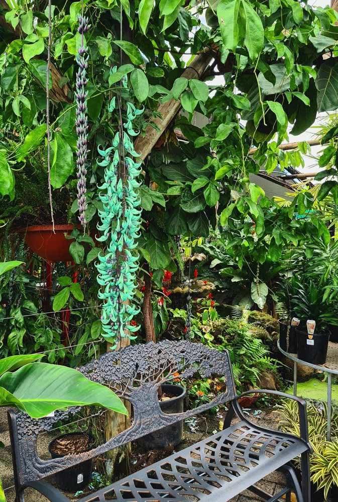 Um banquinho no jardim para apreciar a beleza única e exótica da trepadeira jade azul
