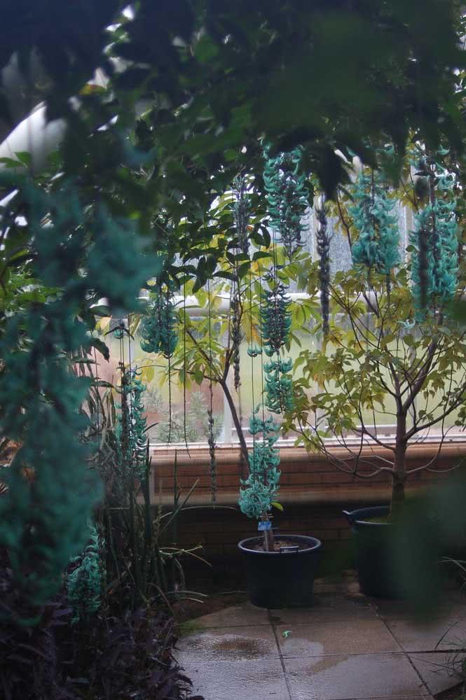 Além da beleza das flores, a trepadeira jade ainda traz um sombreado incrível graças as suas folhas abundantes