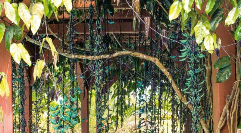 Trepadeira jade: características, cores, curiosidades e fotos da planta