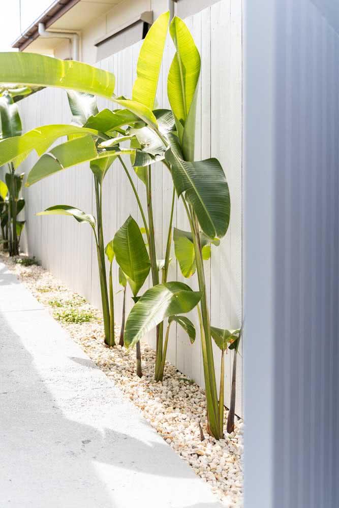 Uma forma muito comum de usar as helicônias é beirando cercas e muros