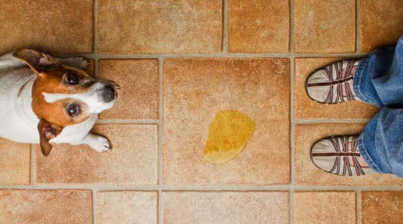 Como tirar cheiro de xixi de cachorro: confira o passo a passo fácil