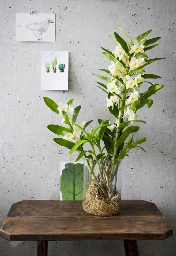 Orquídea bambu cultivada na água: uma boa alternativa para quem não tem quintal ou jardim