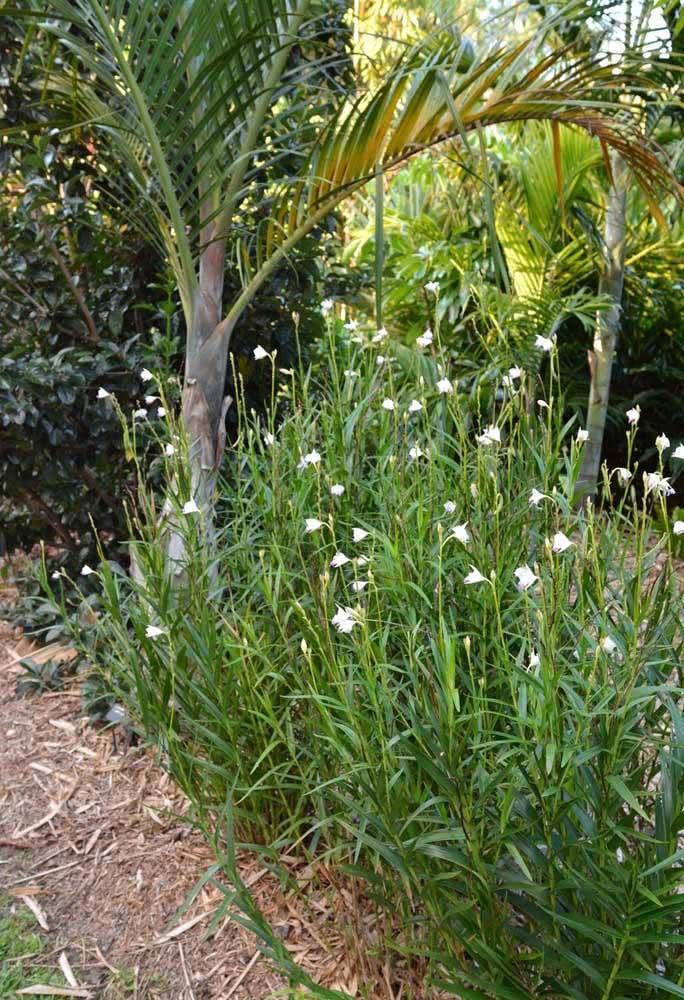 Um caminho de orquídeas bambu em meio ao jardim