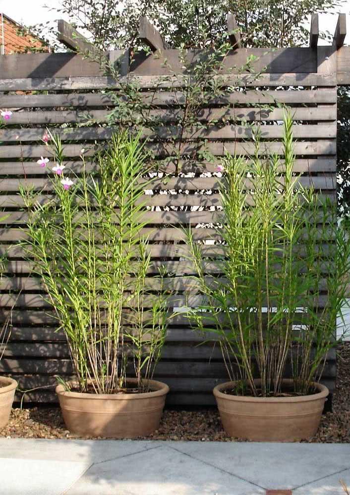 Orquídea bambu em vaso: quanto maior o recipiente, mais a planta se desenvolve