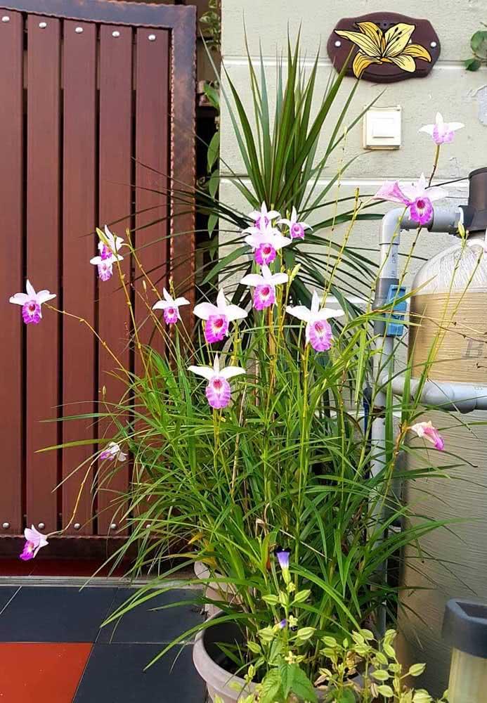 A orquídea bambu é perfeita para ornamentar quintais de casas
