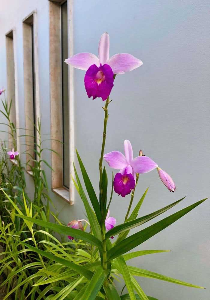 Exóticas e elegantes, as flores da orquídea bambu são um show da natureza